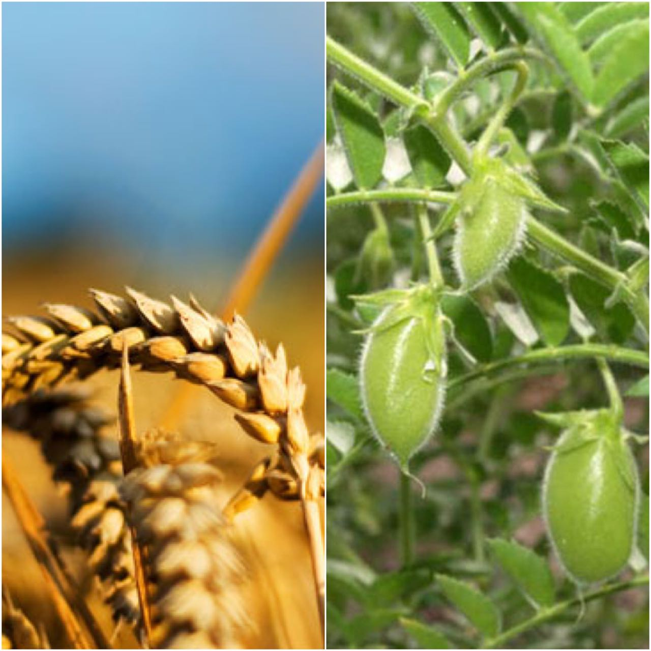 In the  ea on of 18, the «Argo-Vilion» enterpri e introduce  two new crop  into crop rotation. It will be chickpea  and wheat that will let to increa e the number of crop  grown to